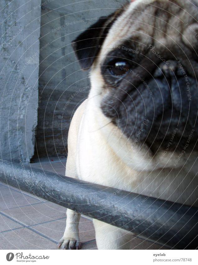 Lassie Pug Dog Brown Gray Concrete Black Steel Rod Hope Curiosity Animal Pelt Joy Dangerous wrinkels amounted North Pole help Nose Ear Wrinkles Eyes Muzzle Fear