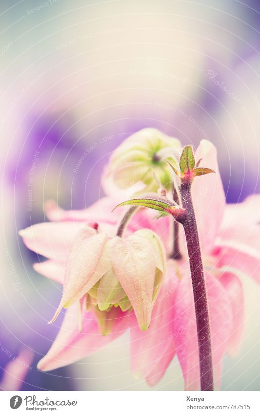 Delicately melting Nature Plant Spring Flower Blossom Garden Blossoming Violet Pink Pastel tone Exterior shot Deserted Copy Space top Day Shallow depth of field