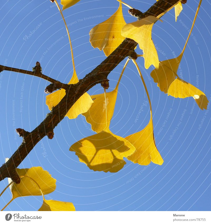 ginko leaves Luminosity Ginko Autumn leaves Leaf Tree Seasons Yellow Asia autumn sun Blue Beautiful weather Contrast