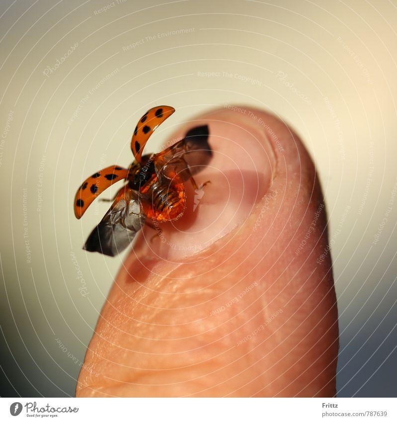 ... fly ladybug fly ... Fingers Fingernail Animal Beetle Wing Ladybird Polyphaga cucujoidea 1 Flying Brown Gray Orange Red Black hemispherical beetle
