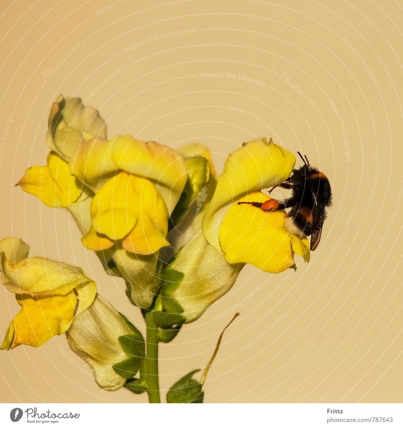 Lionmouth - Bumblebee Nature Plant Animal Flower snapdragon Plantain plants labiates antirrhineae antirrhinum snapdragons Wild animal Wing Bumble bee apidae