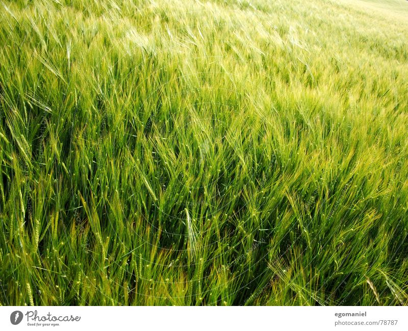 Grain in the wind Rye Wheat Barley Spring Field Agriculture Growth Exterior shot Plant Green Meadow Food Extend grow Wind Harvest Nature