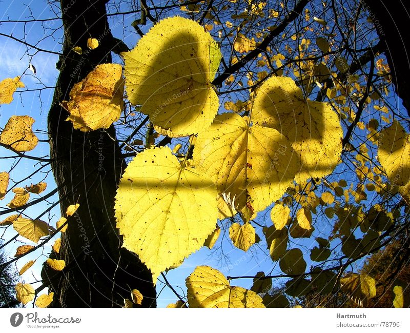 gold leaf Autumn leaves Lime leaf Bright Garden Park foliage before blue sky last sheets foliage against the light yellow leaves