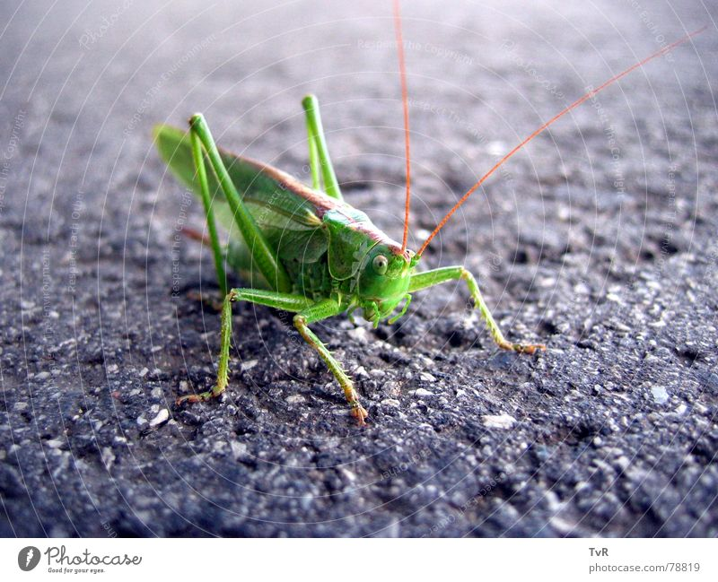 haystack Great green bushcricket Green Asphalt Insect Hop Locust Street