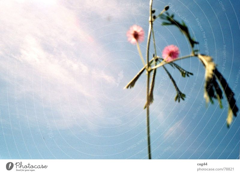 mimosa pudica Mimosa Plant Clouds Flower Blossom Botany Green Sky Light Nature Blue Isolated Image Copy Space left Blossoming Sunlight