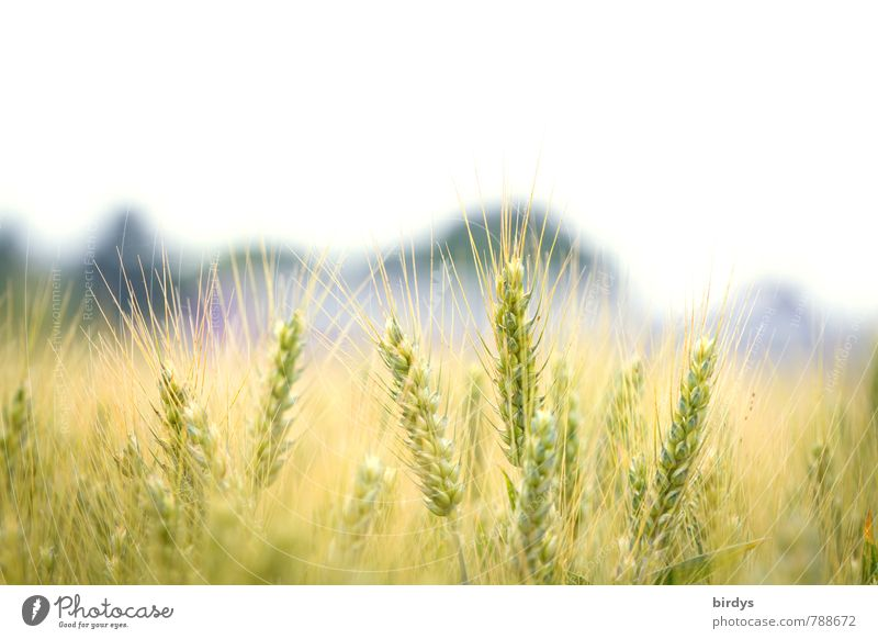 barley field Agriculture Forestry Nature Beautiful weather Agricultural crop Barleyfield Barley ear Field Esthetic Bright Near Natural Warmth Sustainability