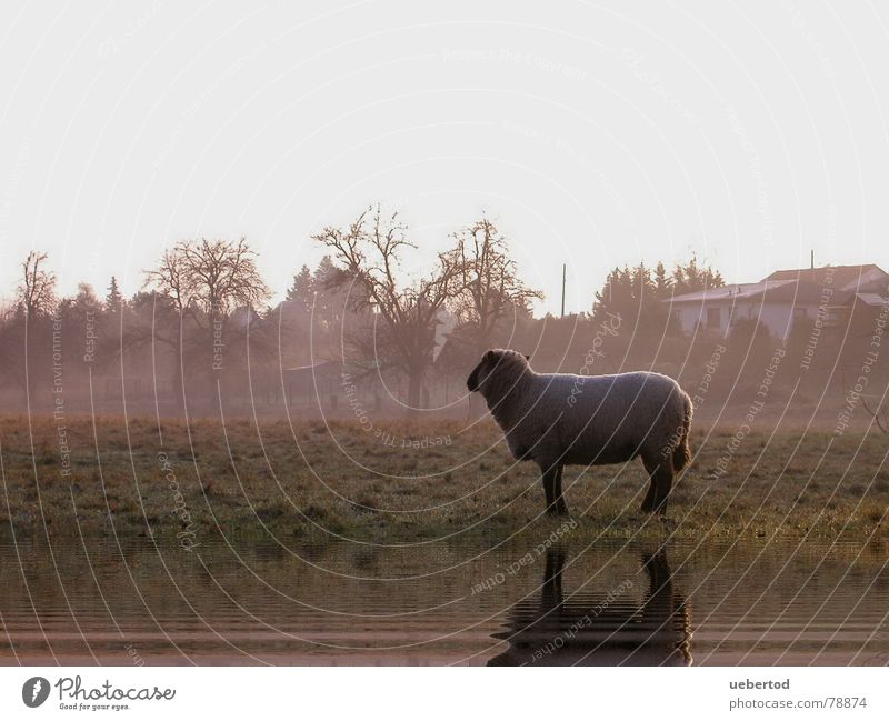The Radebeul sheep Meadow Winter Agriculture Sheep Farm animal Wool Cold Fog Loneliness Exterior shot Dresden Nature Warmth Landscape