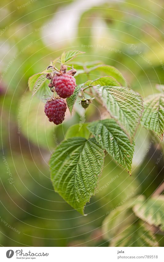raspberries Food Fruit Raspberry Nutrition Organic produce Vegetarian diet Nature Plant Summer Agricultural crop Garden Fresh Healthy Small Delicious Natural