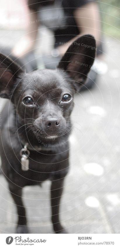 Neo, the carpet rocket Trenchant Vertical Portrait format Diminutive Dog Small Innocent Black Gray Neckband Snout Animal Pet Pelt Colour photo Mammal