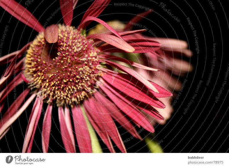 Nature Old Flower Black Life Dark Autumn Emotions Death Blossom Bright Pink Background picture Large Grief Transience