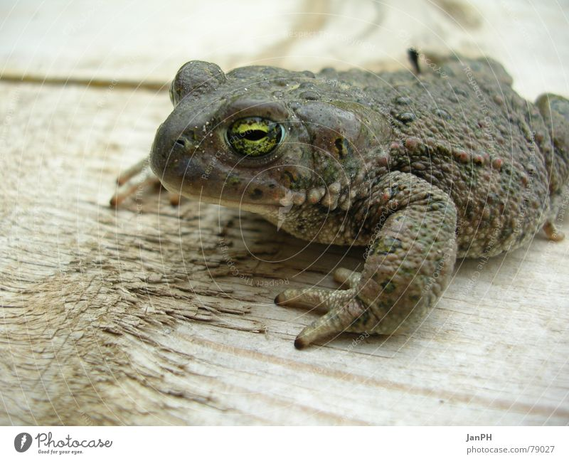 Green Eyes Animal Life Wood Gray Brown Frog Ecological Environmental protection Amphibian Natterjack toad Painted frog