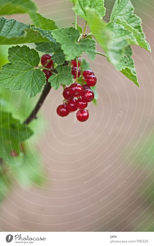 currants Food Fruit Redcurrant Organic produce Vegetarian diet Nature Plant Summer Agricultural crop Garden Fresh Healthy Delicious Natural Sour Sweet