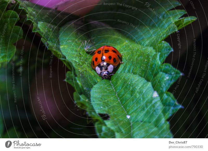 Nature Leaf Animal Environment Happy Wild animal Threat Cute Crawl Beetle Foliage plant Ladybird