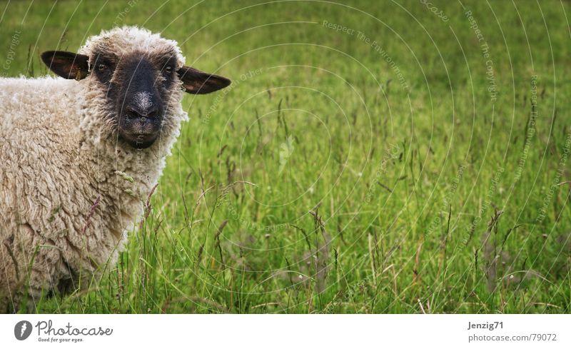 Nature Green Beautiful Meadow Grass Lawn Agriculture Farm Pasture Sheep Herdsman Mammal Grassland Wool Attractive Animal