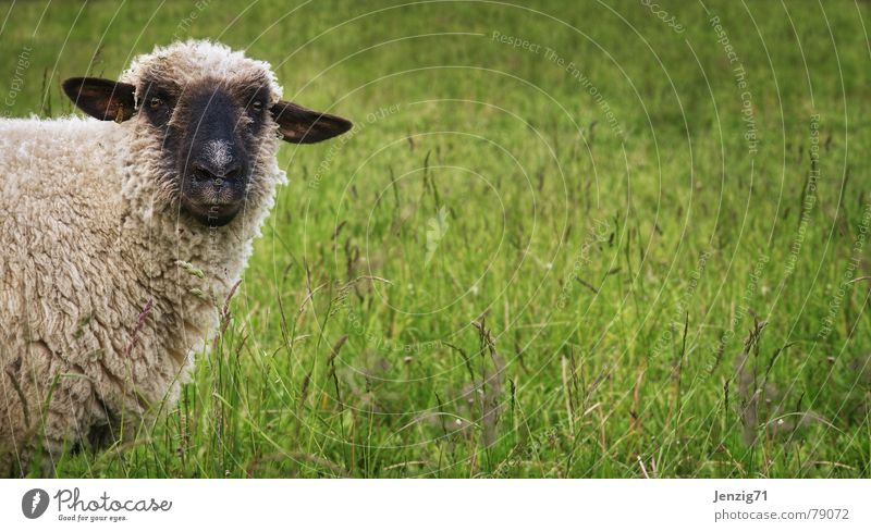 Nature Green Beautiful Meadow Grass Lawn Agriculture Farm Pasture Sheep Herdsman Mammal Grassland Wool Attractive Animal