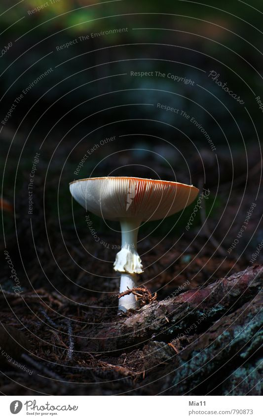 Take me Nature Plant Forest Wood Mushroom Amanita mushroom Poison Lamella Stand Colour photo Exterior shot Close-up Deserted Copy Space top Neutral Background