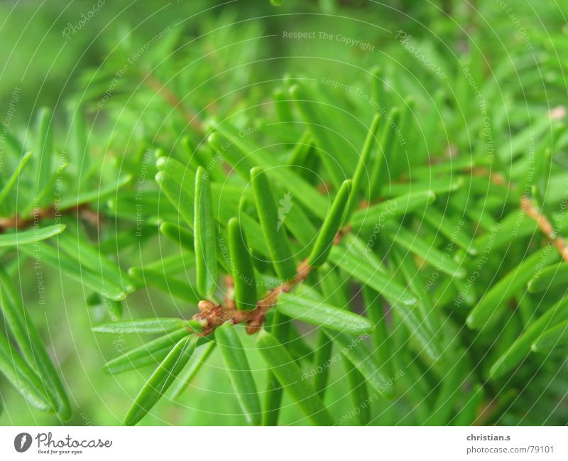 Nature Green Tree Summer Fresh Fir tree Fir needle The Needles