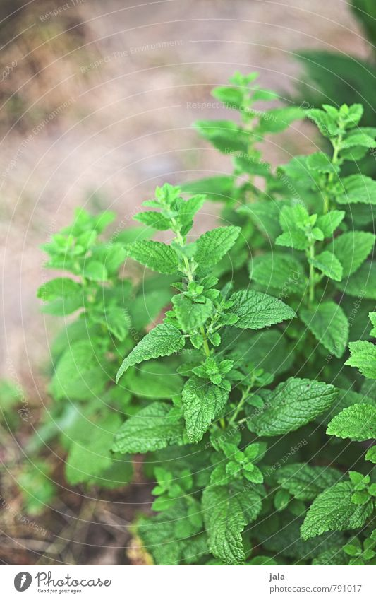 mint Food Herbs and spices Nutrition Organic produce Vegetarian diet Nature Plant Leaf Foliage plant Agricultural crop Mint Fresh Healthy Natural Colour photo