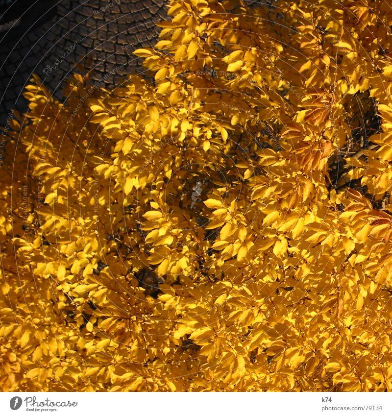 Nature Tree Leaf Yellow Street Autumn Orange Gold Transience Cobblestones Treetop October