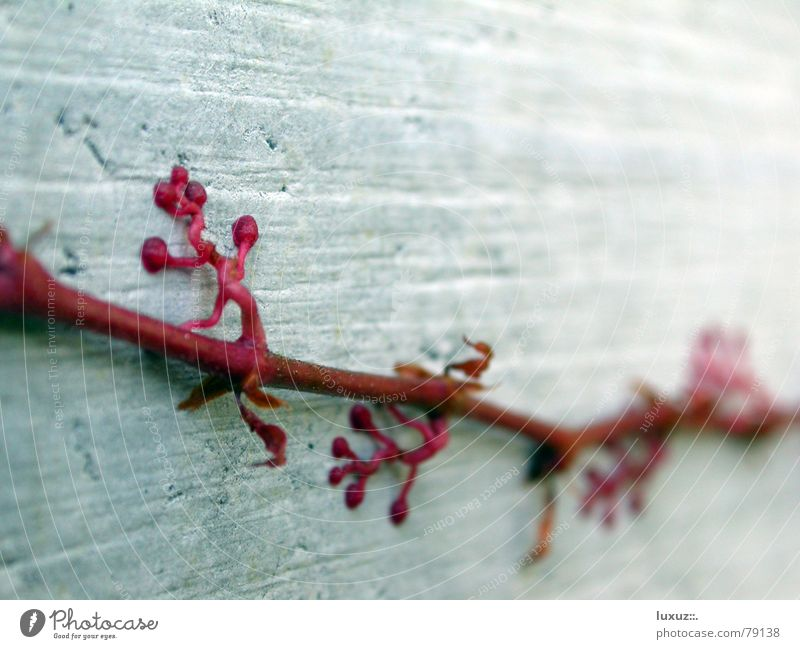 Red Plant Wall (building) Autumn Garden Park Concrete Branch Climbing Stalk Ivy Creeper Ogre Suction pad