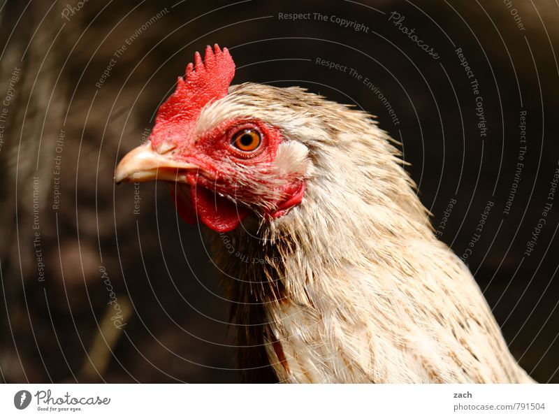 Chicken, Solo Meat Animal Pet Farm animal Animal face Wing Barn fowl Rooster Mother hen Poultry Bird 1 Looking Brown Colour photo Subdued colour Exterior shot
