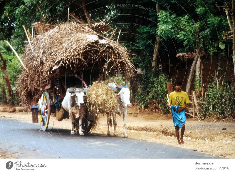 SriLankaBoy Cattle Animal Man lanka kaz
