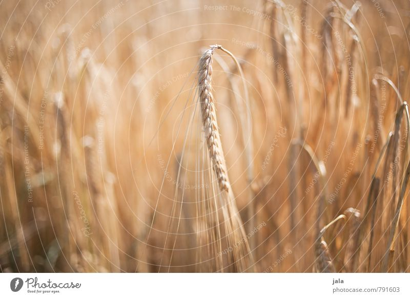 Nature Plant Summer Environment Grass Natural Healthy Field Fresh Grain Agricultural crop Barley Barleyfield Barley ear