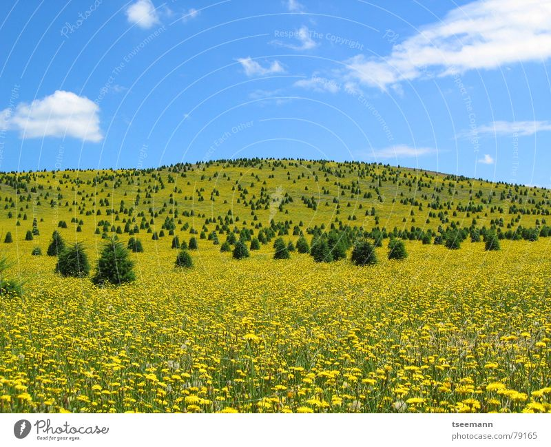 Yellow meadow Meadow Hill Flower Tree USA Americas Oregon Sky Clouds Spring Blue State Park Silver Falls Flower meadow Carpet of flowers Untouched