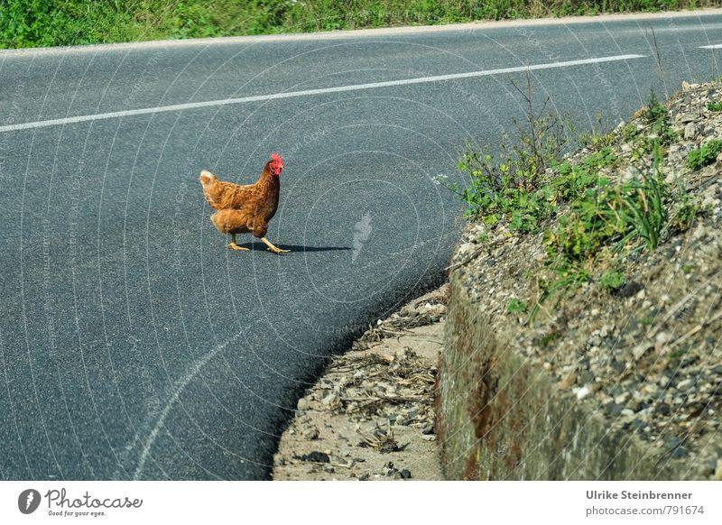 Green Animal Street Grass Gray Going Brown Free Crazy Walking Speed Dangerous Curiosity Serene Risk Discover