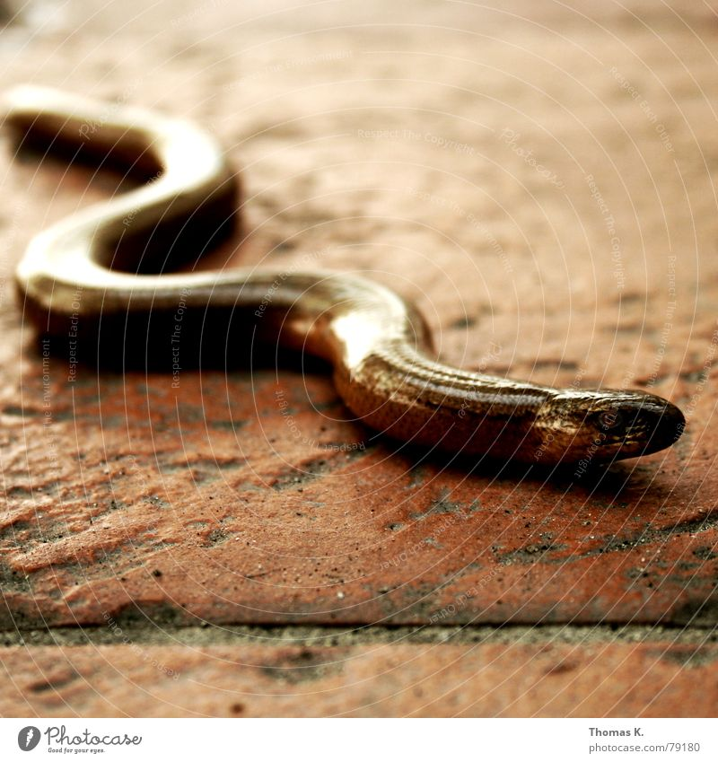 Sneaking blind (or: what are you doing on my terrace ?) Saurians Slow worm Reptiles Seam Curved Disgust Animal Tile Floor covering Meandering Wiggly line Whorl