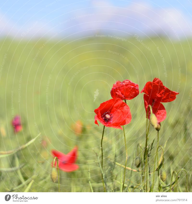 Nature Plant Summer Red Flower Environment Emotions Blossom Field Power Joie de vivre (Vitality) Romance Poppy Infatuation Positive Summery