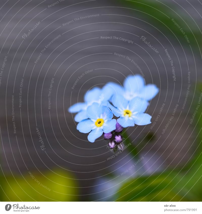 wooden fence Environment Plant Summer Flower Blossom Forget-me-not Exceptional Exotic Beautiful Blue Green Emotions Happy Contentment Optimism Love Infatuation