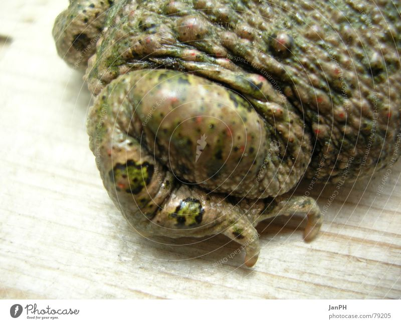 toad thigh Animal Wood Green Brown Amphibian Camouflage Painted frog Frog Legs Feet