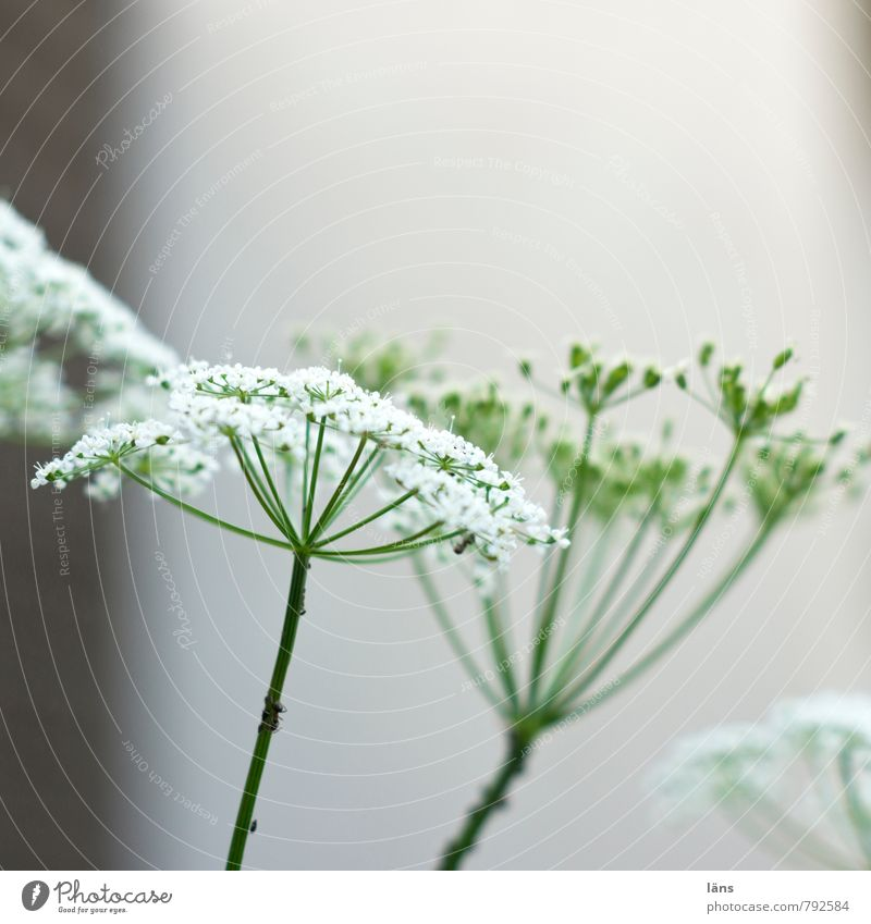 Plant Green White Summer Blossom Growth Blossoming Apiaceae Aegopodium podagria