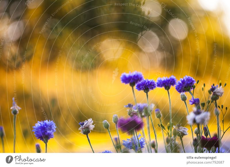 4:1 Environment Nature Plant Sunlight Blossom Garden Meadow Growth Natural Blue Yellow Colour Complementary colour Blur Cornflower Stalk Flower Violet
