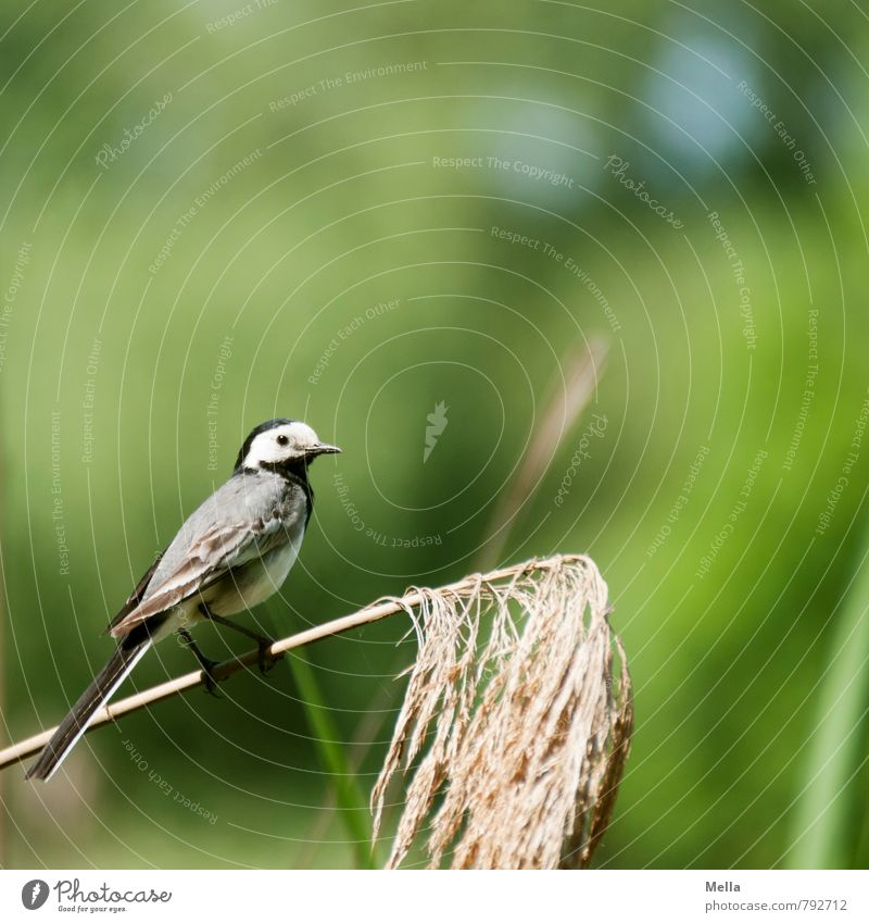 Wikipedia photography Environment Nature Plant Animal Spring Summer Grass Wild animal Bird Wagtail 1 Crouch Looking Sit Free Small Natural Cute Green Life