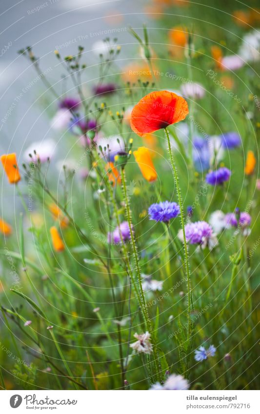 flowery Plant Summer Flower Grass Blossom Meadow Natural Beautiful Wild Multicoloured Nature Poppy Poppy blossom Blur Natural growth Colour photo Exterior shot