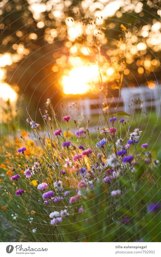 Martragny Nature Plant Sunrise Sunset Sunlight Flower Blossom Natural Beautiful Warmth Multicoloured Loneliness Relaxation Colour Kitsch Stagnating Moody