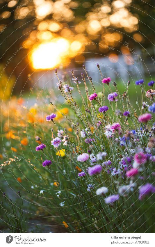 Nature Plant Summer Flower Environment Meadow Natural Garden Park Illuminate Blossoming Beautiful weather Summery Flower meadow Cornflower Wayside