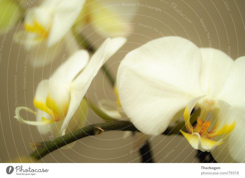 orchid Orchid Blossom Flower Plant Pistil Florist Botany Nature