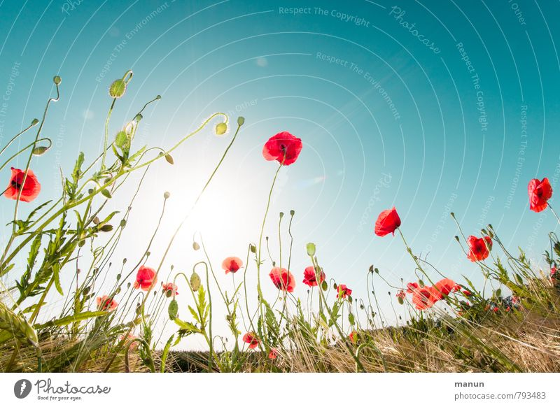 poppies in the field Nature Landscape Plant Cloudless sky Sun Spring Summer Beautiful weather Flower Bushes Agricultural crop Wild plant Poppy blossom