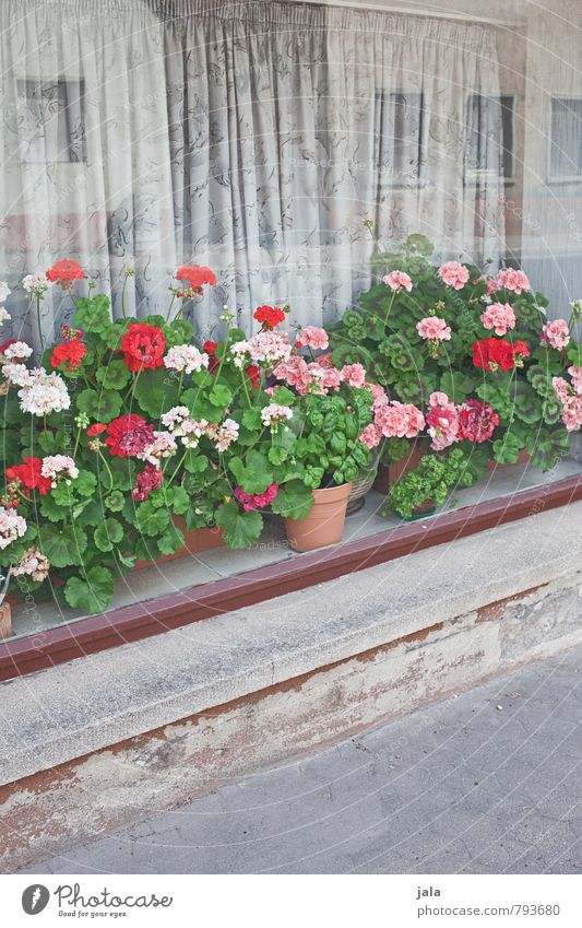 flower window Plant Flower Leaf Blossom Pot plant Geranium House (Residential Structure) Building Window Friendliness Happiness Natural Beautiful Drape Sidewalk