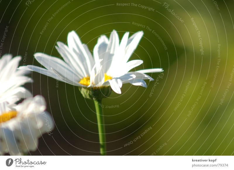 Nature White Flower Green Blossom Spring Daisy Marguerite