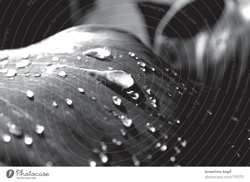 trickle Leaf Drops of water Dazzling Water sharp-blurred Rain Black & white photo