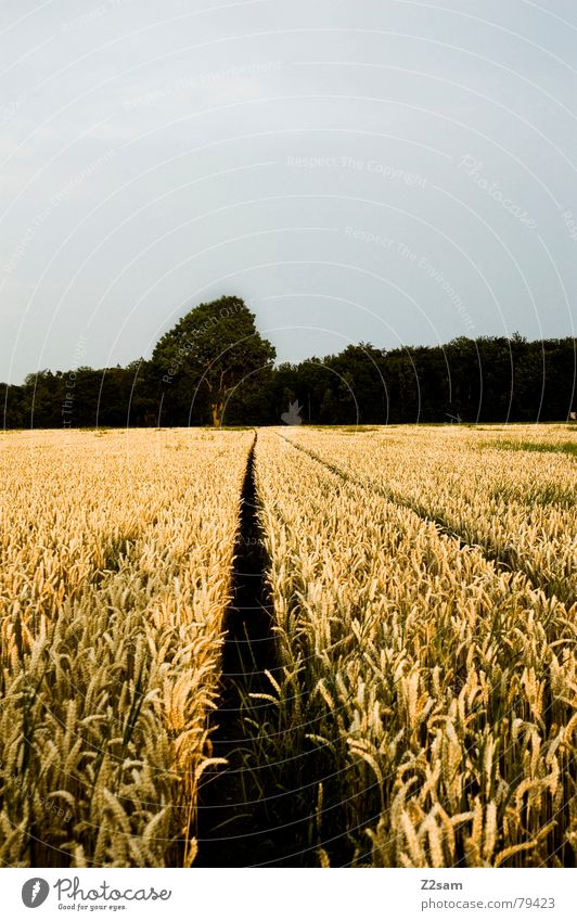 Nature Tree Green Summer Calm Yellow Far-off places Forest Lanes & trails Field Grain Maize Right ahead