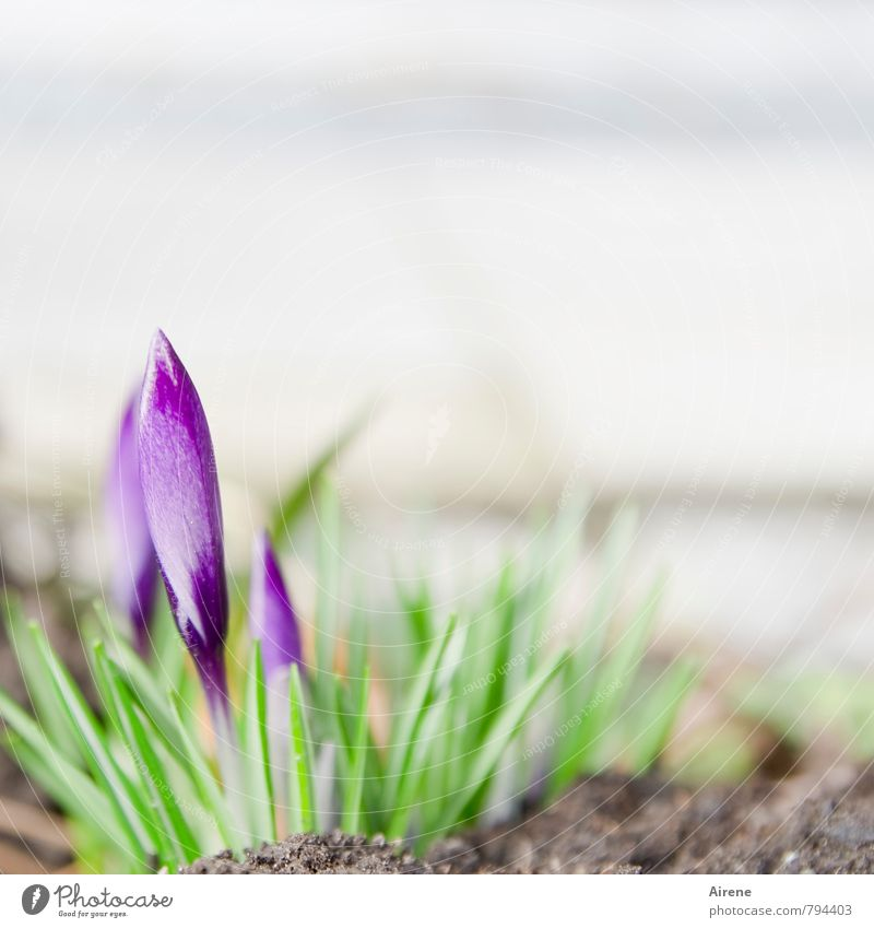 Nature Plant Green White Flower Blossom Spring Small Bright Growth Earth Beginning Blossoming Violet Delicate Bud