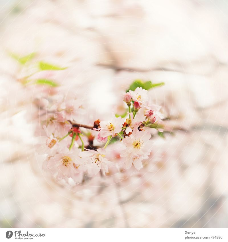 With a zest for spring Nature Plant Spring Tree Blossom Garden Blossoming Fragrance Green Pink White Spring fever Anticipation Love Infatuation Romance