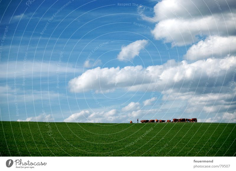 Sky Green Sun Summer Clouds Animal Meadow Grass Horizon Pasture Agriculture Farm Cow Pet Barn Milk