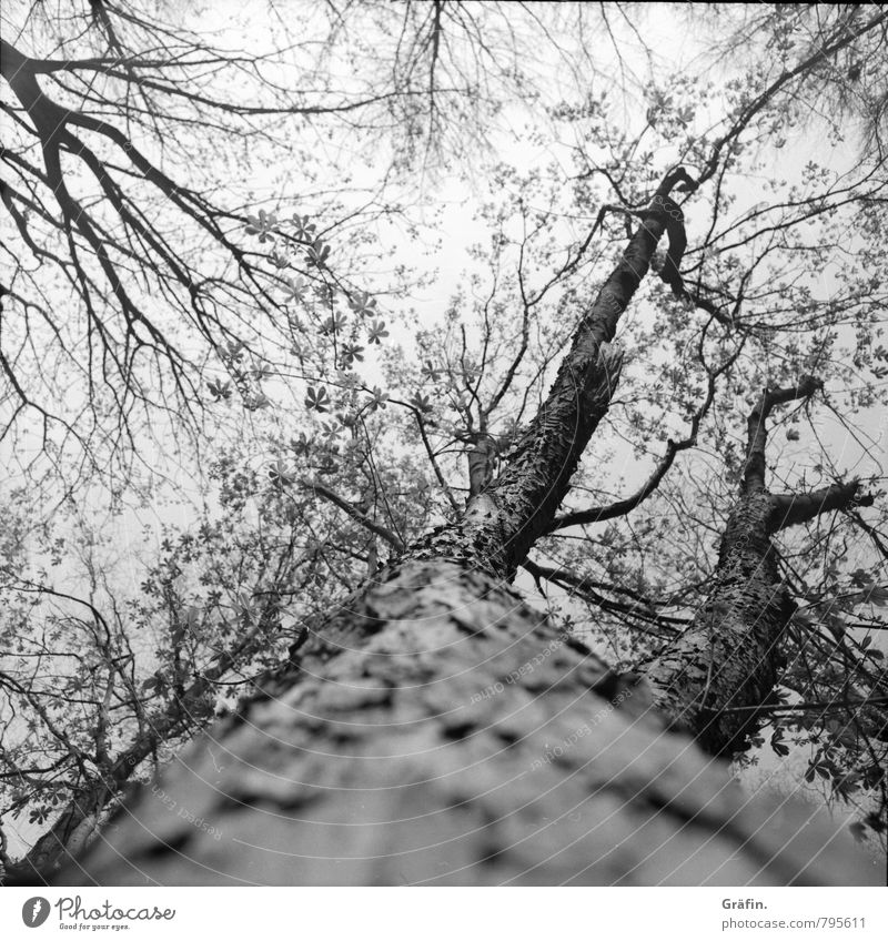 TREE CROWN Environment Nature Plant Spring Tree Tree trunk Forest Blossoming Discover Growth Gigantic Large Infinity Gray Black White Spring fever Power Life