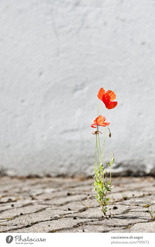 adaptive Environment Plant Summer Beautiful weather Warmth Flower Poppy Wall (barrier) Wall (building) Street Blossoming Illuminate Simple Friendliness